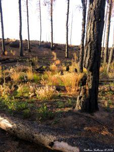 Burned Skyline forest