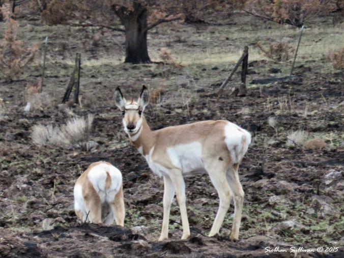 Pronghorn near Antelope, OR 12-11-2015