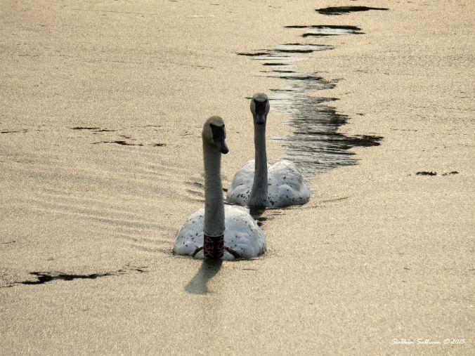 Trumpeter Swans, Sunriver, Oregon
