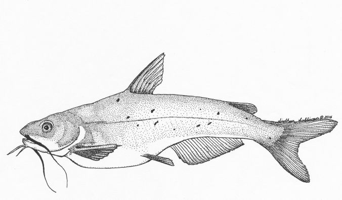 Channel Catfish by Siobhan Sullivan