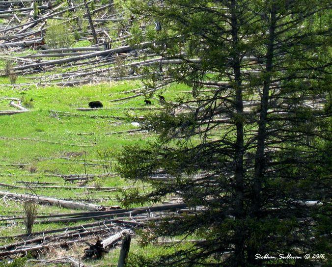 Black bear family, Yellowstone National Park