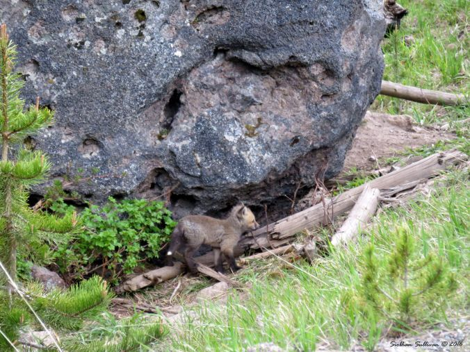 Fox kit, Yellowstone National Park