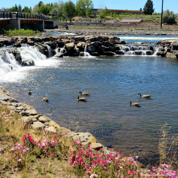 Canada geese in the Habitat Channel, Bend Whitewater Park