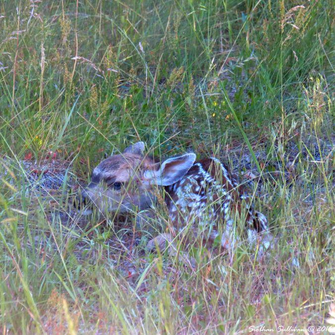 Fawn at Spring Creek near Camp Sherman, OR 25June2016 SiobhanSullivan