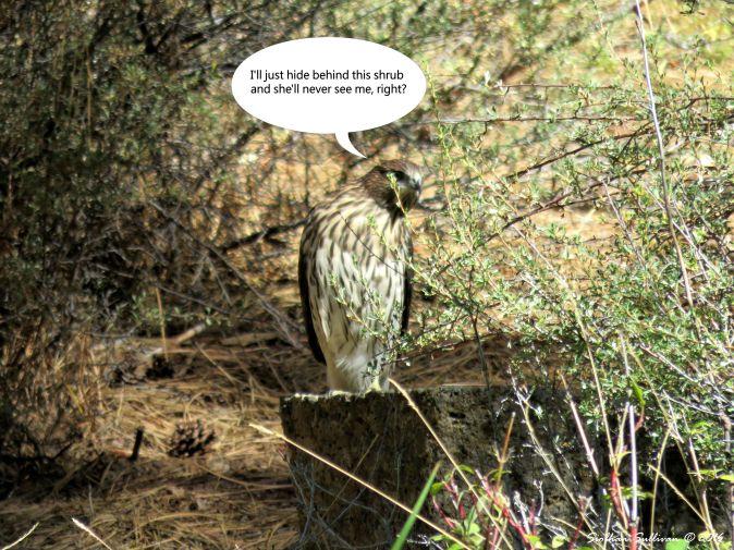 Cooper's Hawk Blooper 31 Aug 2015
