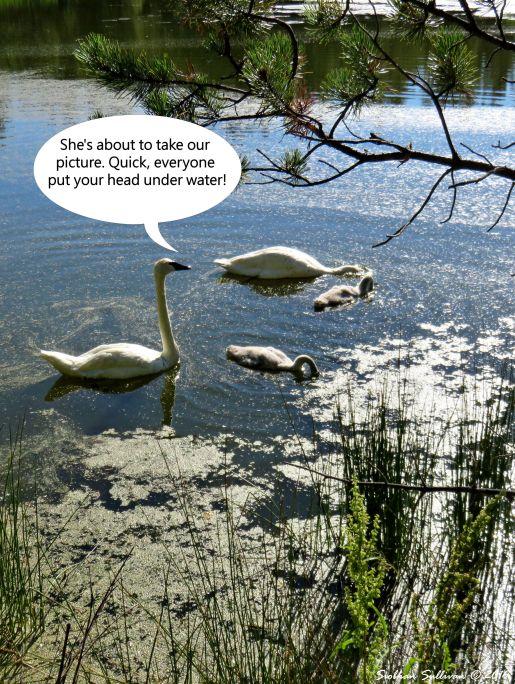 Trumpeter swan Blooper 15 July 2016