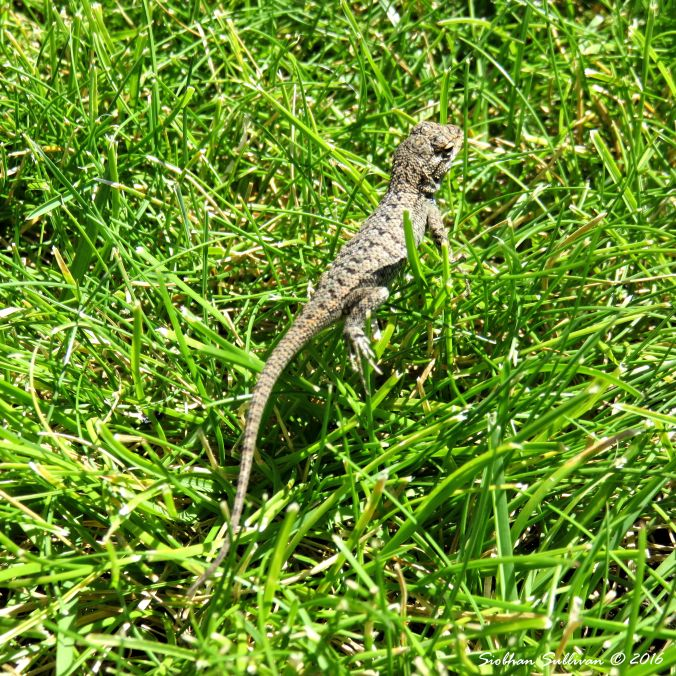 Young Western fence lizard, Sceloporus occidentalis