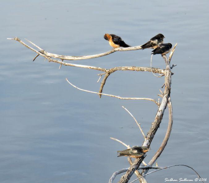 SmallSwallows1 14Aug2016