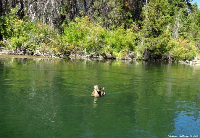 Young mallard on the Deschutes River 10Sept2016