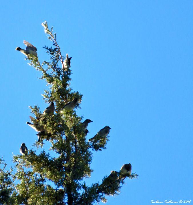 Cedar Waxwings on treetop 27Aug2016