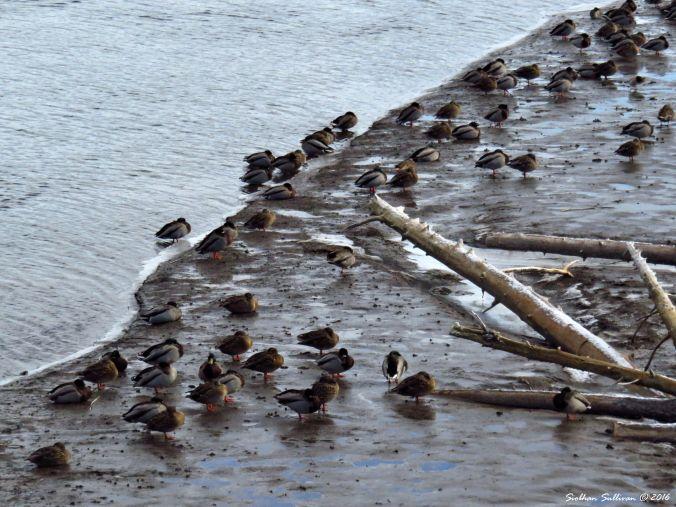 Mallard ducks tucked in for winter 5Dec2016