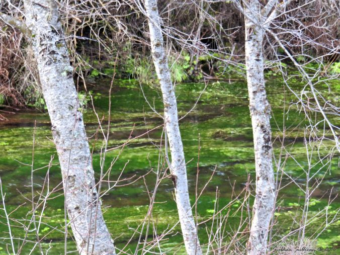 Green & white at Metolius River headwaters 27Nov2016
