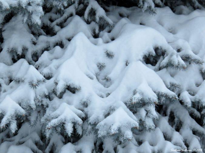 Snowfall on spruce 14Dec2017