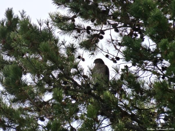 Cooper's hawk 21Oct2016