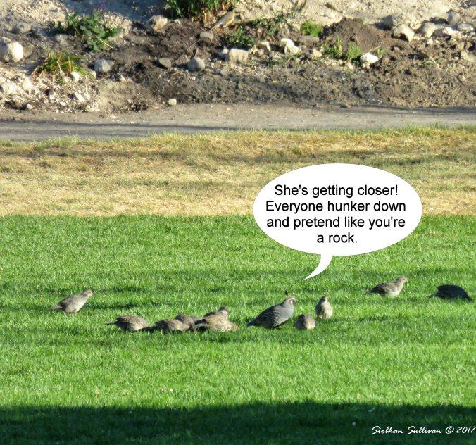 California quail 30July2016