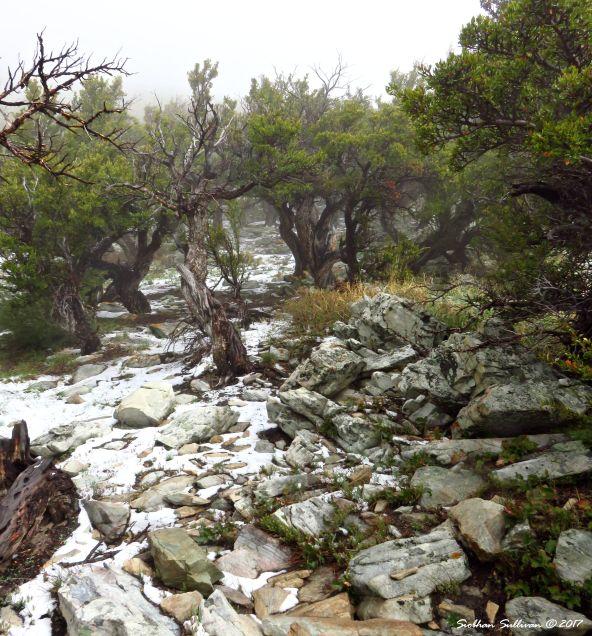 Mountain mahogany in the wild, Great Basin National Park, Nevada 8May2017