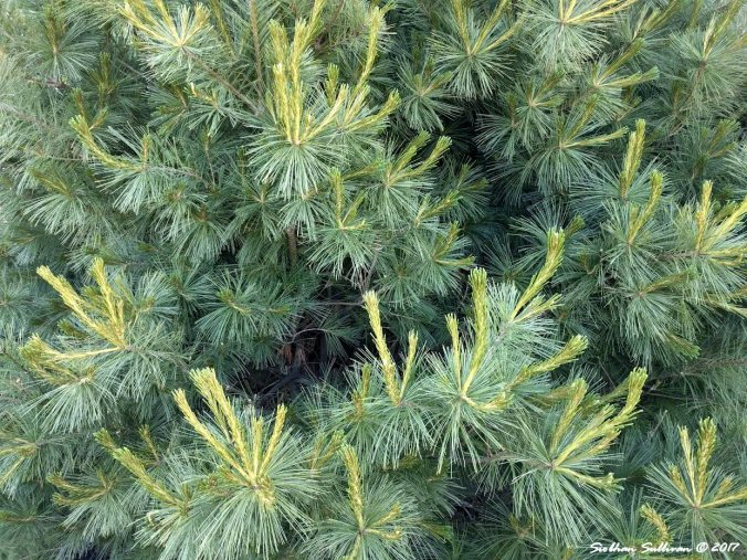 New growth on a pine tree 23June2017