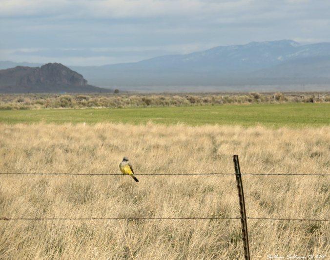 Western kingbird at Fort Rock, Oregon 21April2017